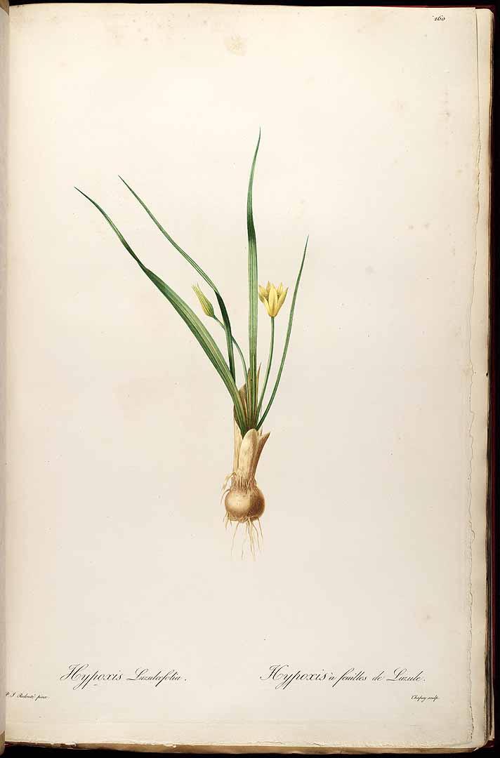 Curculigo scorzonerifolia