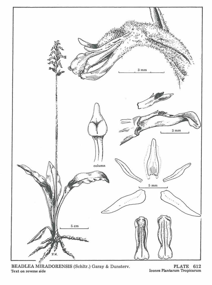 Cyclopogon miradorensis