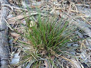 Cyperus floridanus