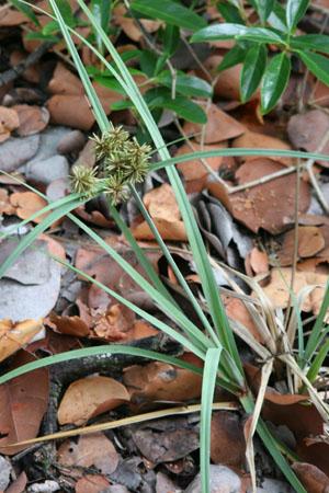 Cyperus planifolius