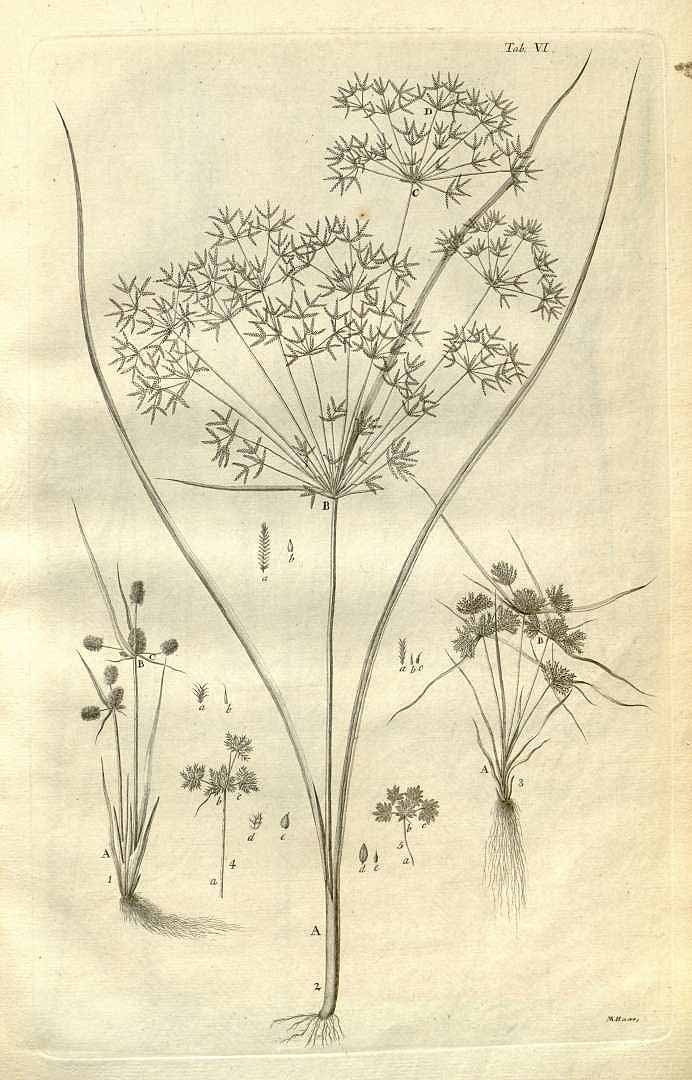 Cyperus squarrosus