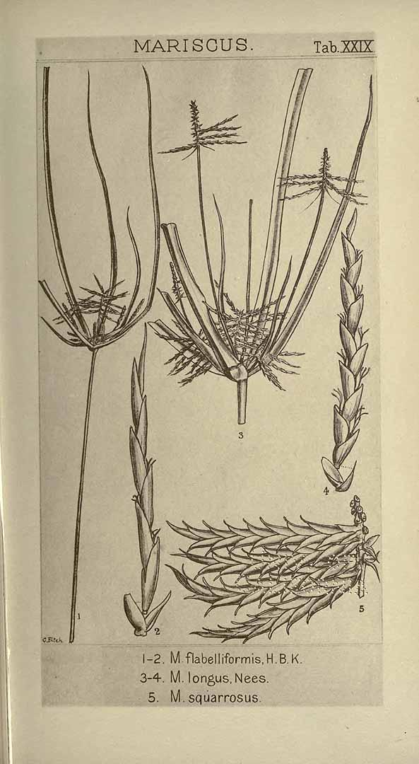 Cyperus tenuis