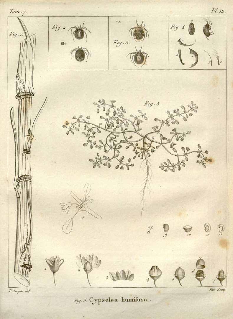 Cypselea humifusa
