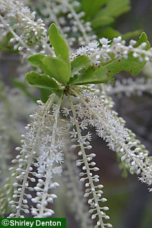 Cyrilla racemiflora