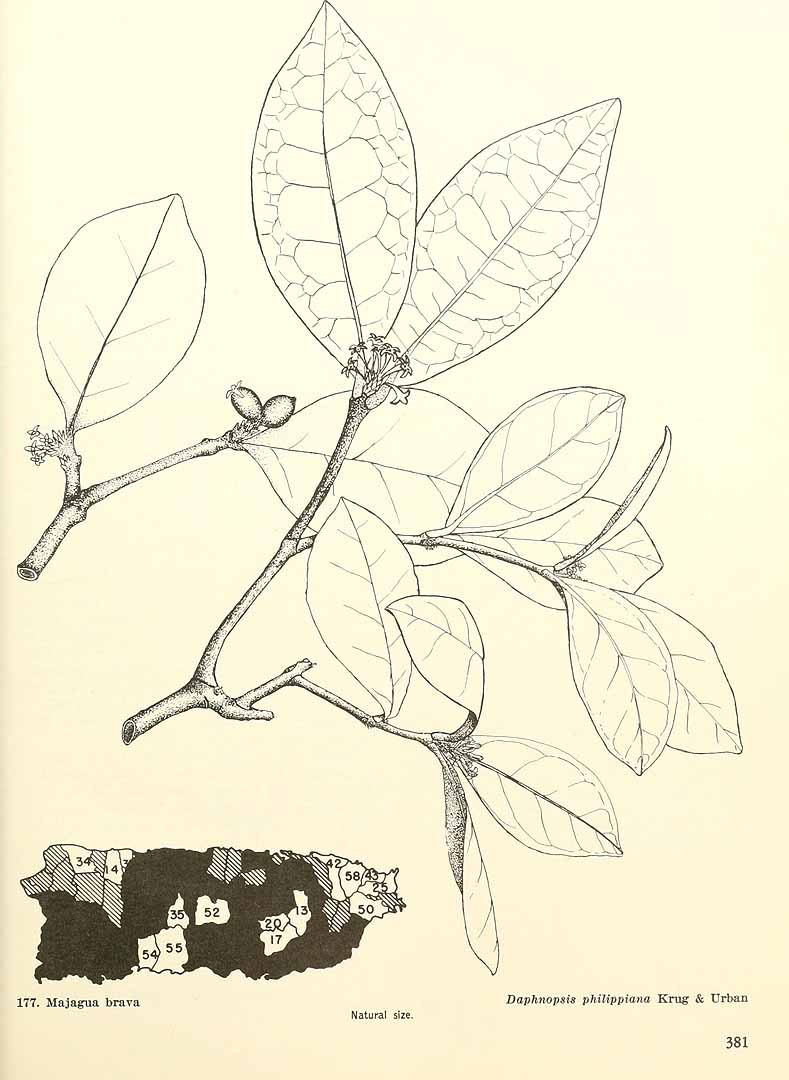 Daphnopsis philippiana