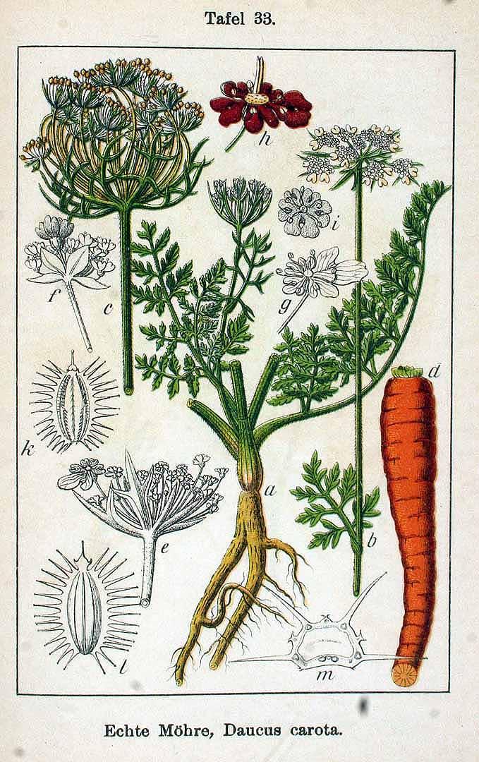 Daucus carota