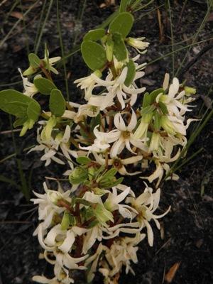 Deeringothamnus pulchellus