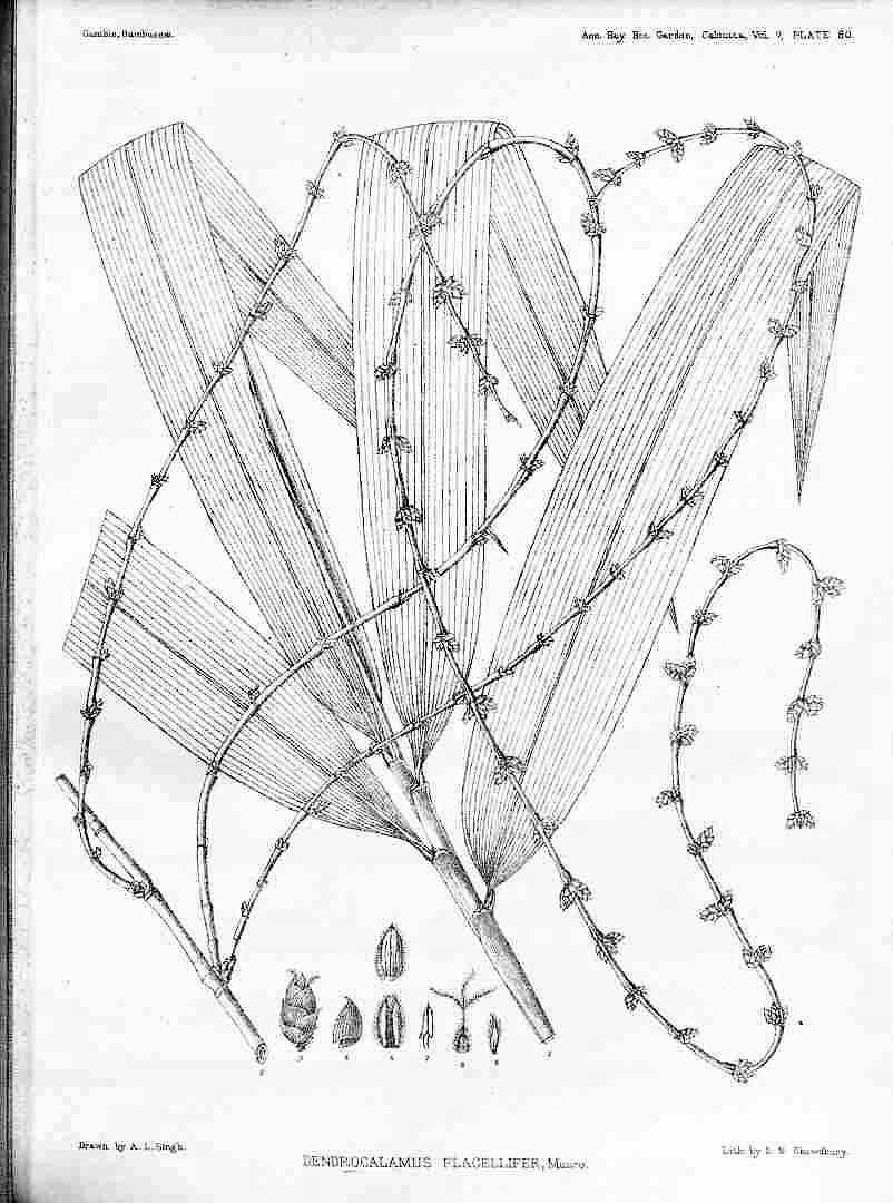 Dendrocalamus asper