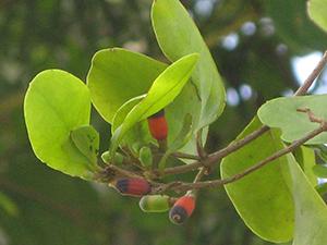 Dendropemon bicolor