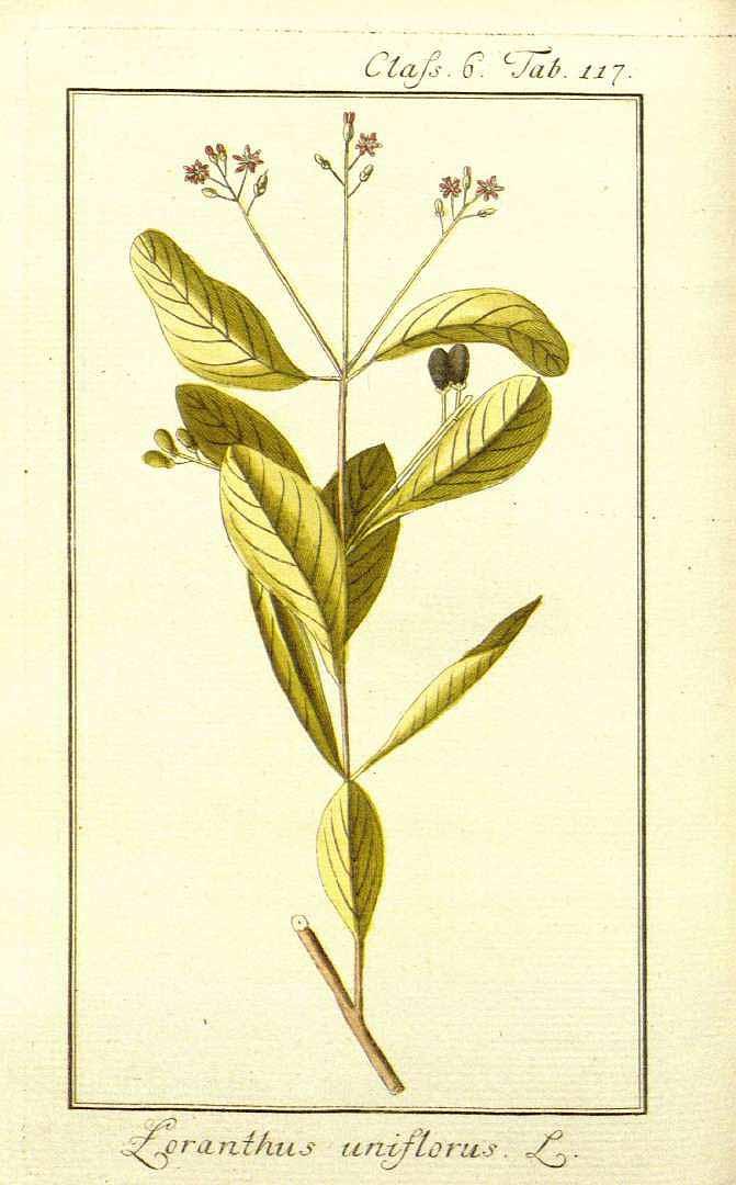 Dendropemon purpureus