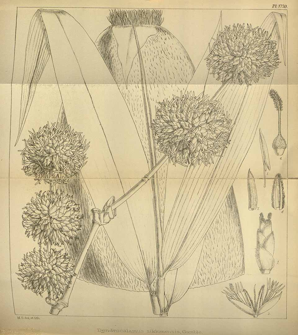 Dendrocalamus sikkimensis