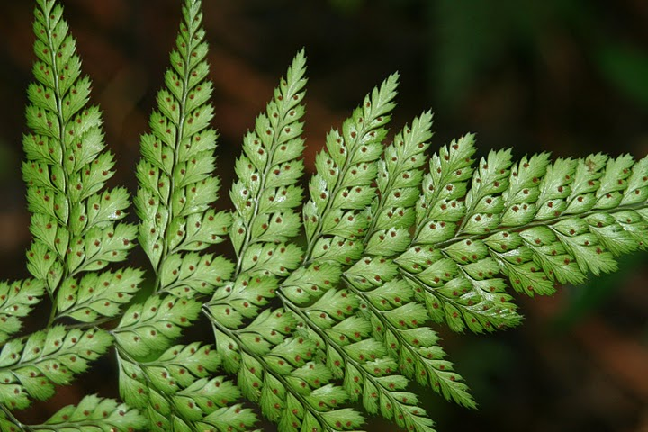 Dennstaedtia bipinnata