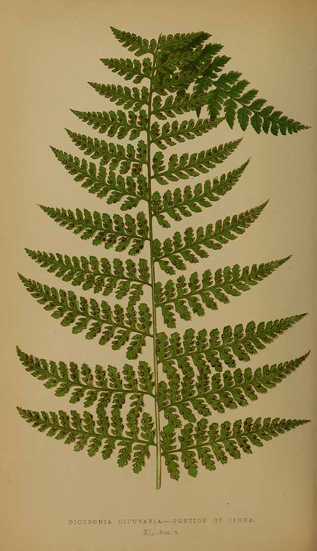 Dennstaedtia cicutaria