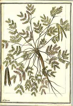 Desmanthus pernambucanus
