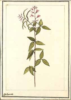 Desmodium procumbens
