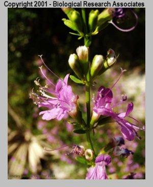 Dicerandra immaculata