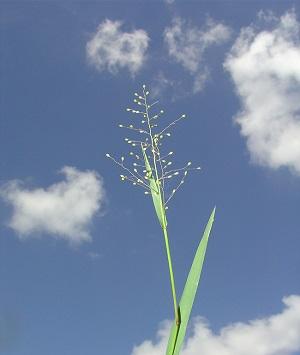 Dichanthelium erectifolium