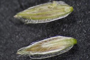 Digitaria bicornis