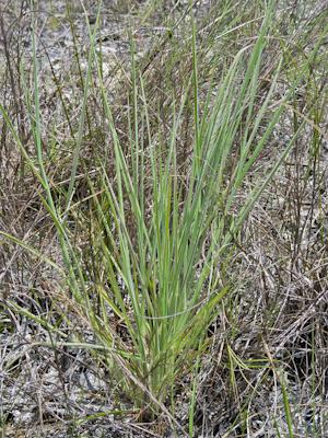 Digitaria pauciflora