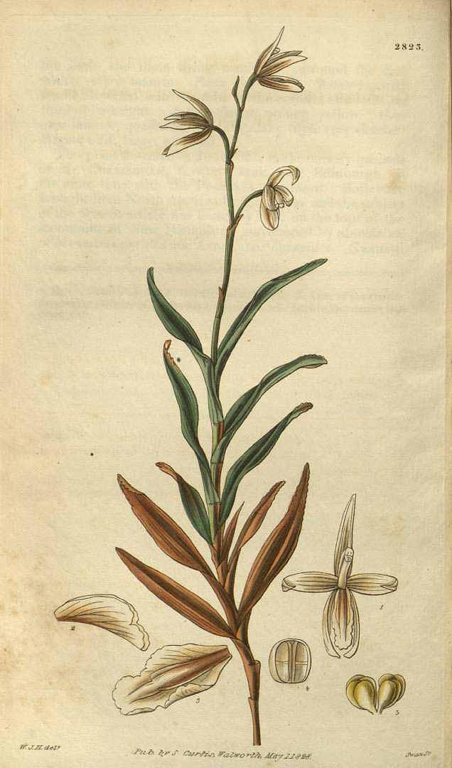Dilomilis montana