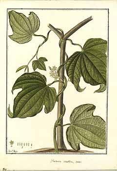 Dioscorea trifida