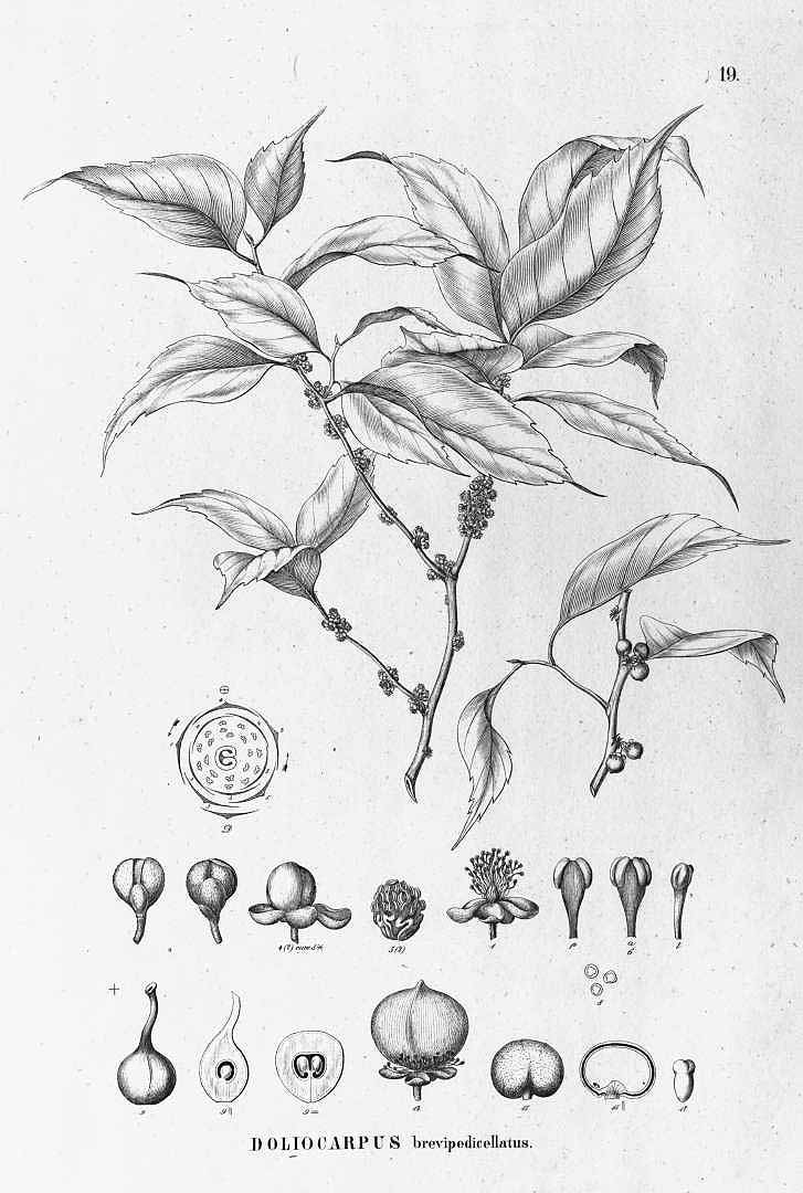 Doliocarpus brevipedicellatus