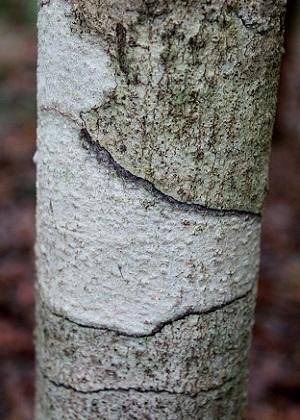 Drypetes diversifolia