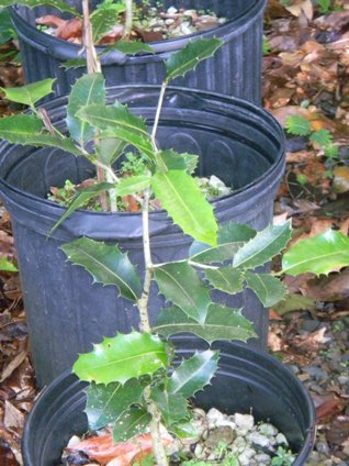 Drypetes ilicifolia
