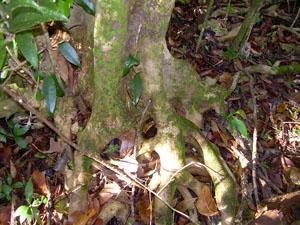 Drypetes lateriflora