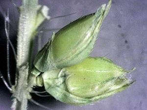 Echinochloa paludigena