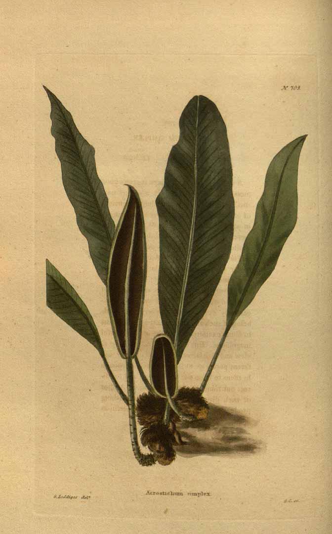 Elaphoglossum simplex