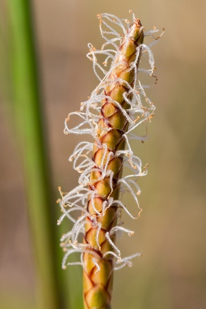 Eleocharis cellulosa