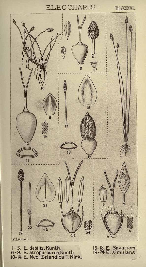 Eleocharis debilis