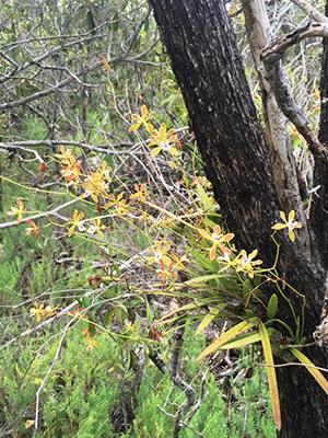 Encyclia tampensis