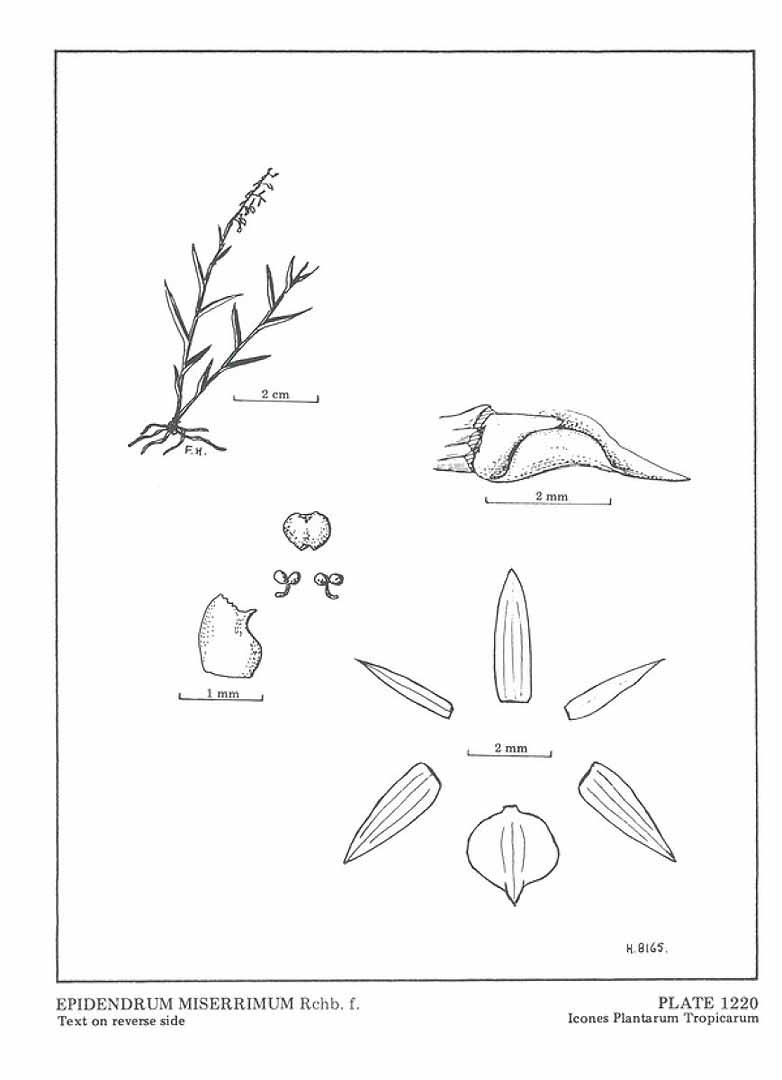 Epidendrum miserrimum