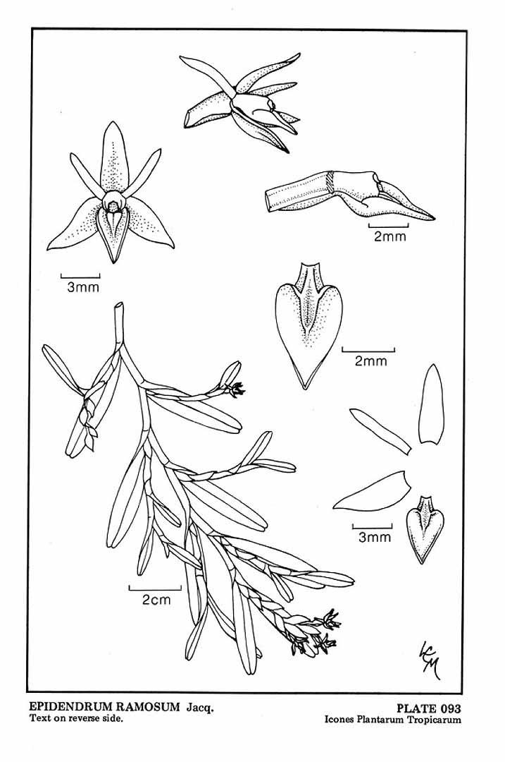 Epidendrum ramosum