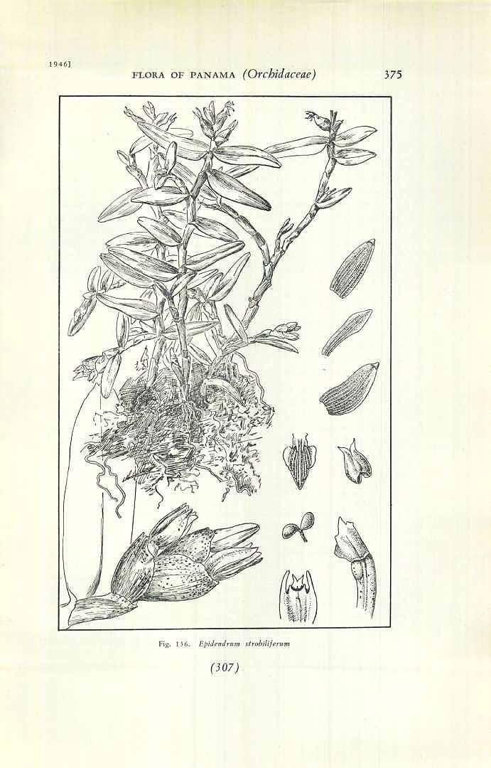 Epidendrum strobiliferum