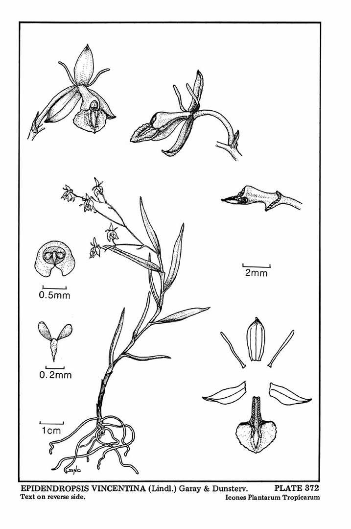 Epidendrum vincentinum