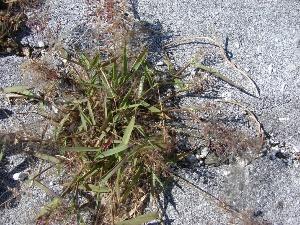 Eragrostis amabilis