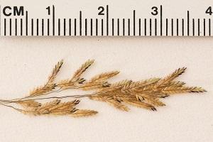 Eragrostis bahiensis