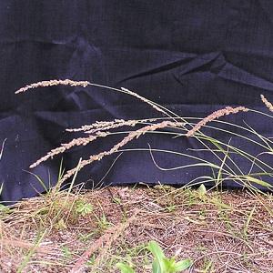 Eragrostis ciliaris