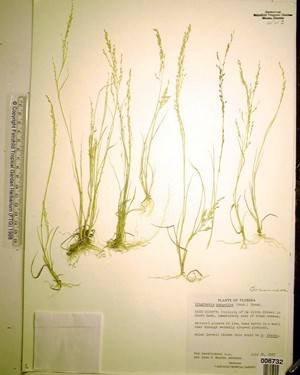 Eragrostis gangetica