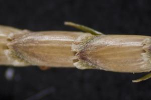 Eremochloa ophiuroides