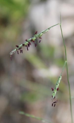 Eriochloa michauxii