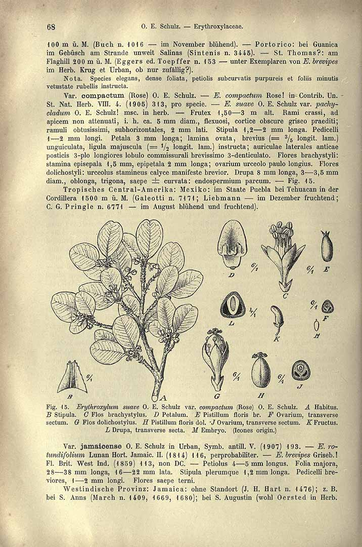 Erythroxylum rotundifolium