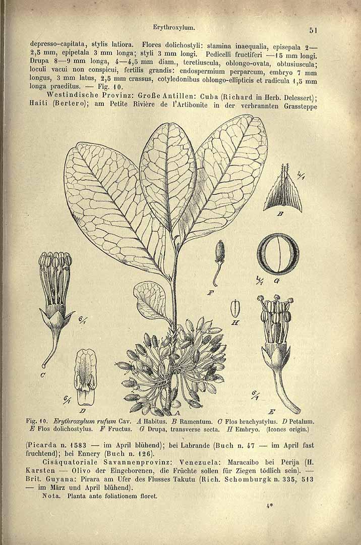 Erythroxylum rufum