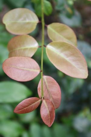 Eugenia axillaris