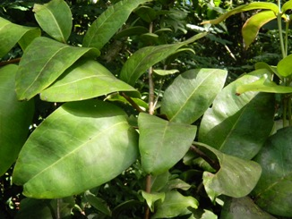 Eugenia haematocarpa