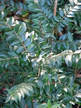Eugenia monticola