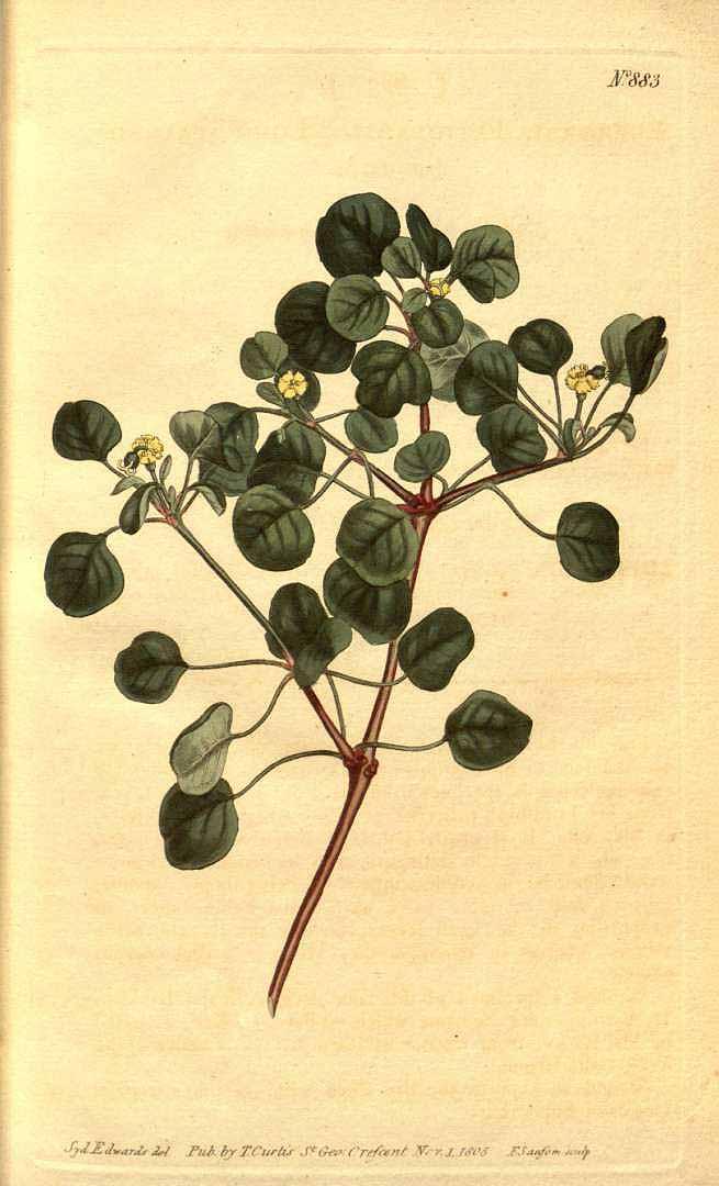 Euphorbia petiolaris